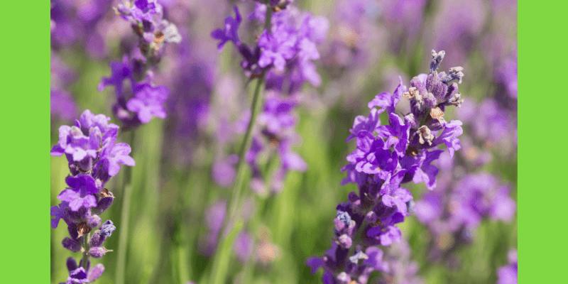 lavender plant essential oils